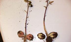 Особенности размножения грецкого ореха