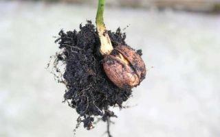 Выращивание грецкого ореха из плода