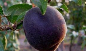 Описание абрикоса сорта Черный бархат
