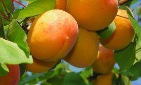 Описание абрикоса Десертного