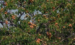 Жердела: описание и использование дикого абрикоса