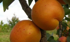 Описание сорта абрикоса Харгранд