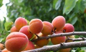 Особенности сорта абрикоса Краснощекий