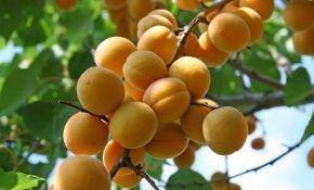 Особенности абрикоса сорта Лель