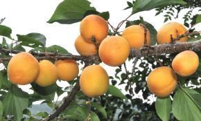 Особенности маньчжурского абрикоса