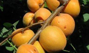 Описание сорта абрикос