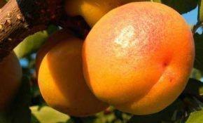Характеристика Мелитопольского абрикоса