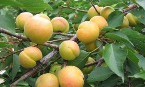 Выбор Подмосковья: лучшие сорта абрикоса