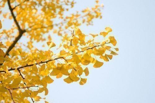 Абрикос осенью