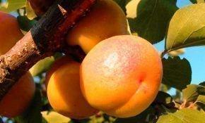 Особенности сорта абрикоса Россиянин
