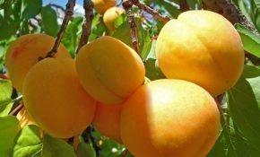 Сорт абрикоса Триумф Северный
