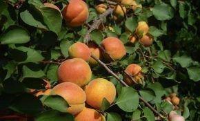Особенности выращивания абрикоса сорта Ульянихинский