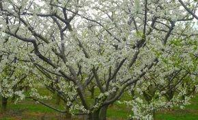Выращивание, уход и размножение абрикосовых деревьев