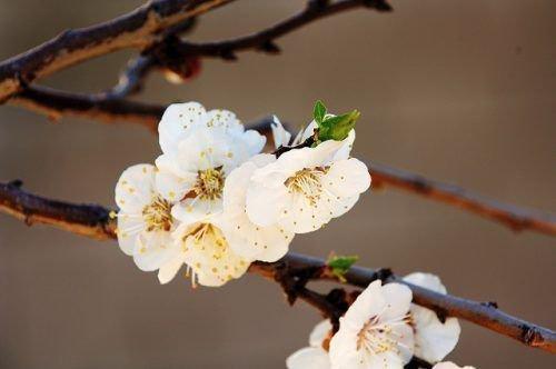 Абрикосовые цветы