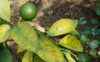 Почему у домашнего лимона бледнеет листва