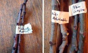 Способы размножения абрикосов