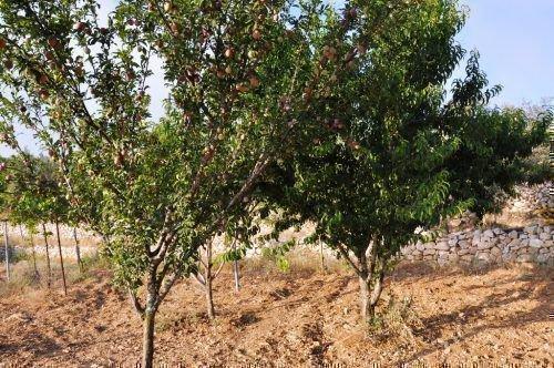Деревья абрикосов