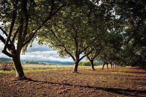 Деревья фундука