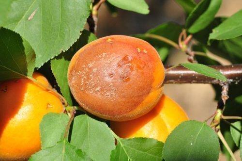 Гниение абрикоса
