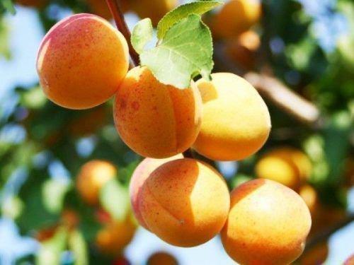 Хабаровский абрикос