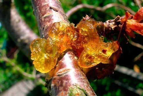 Камедетечение абрикоса