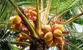 Уход за комнатной кокосовой пальмой