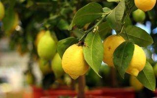 Лучшие сорта лимонов для выращивания дома