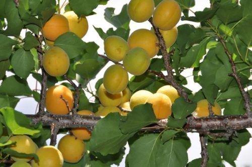 Маньчжурский абрикос