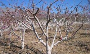 Правила обрезки абрикосовых деревьев
