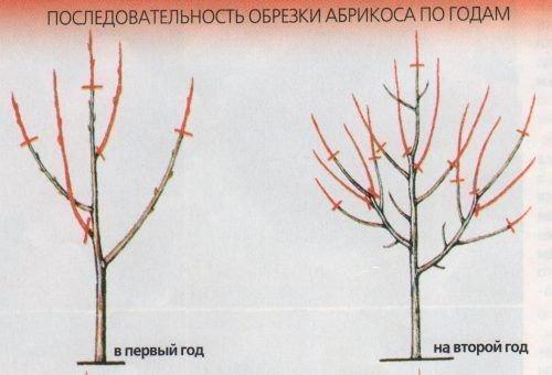 Обрезка абрикоса по годам