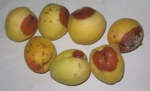 Плодовая гниль абрикоса
