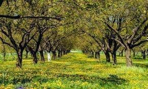 Посадка абрикосов: этапы, способы, особенности
