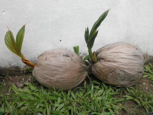 Пророщенные кокосы