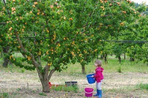Сбор абрикоса