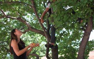 Сбор спелых абрикосов с высокого дерева