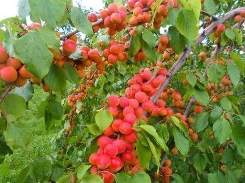 Северное сияние абрикос