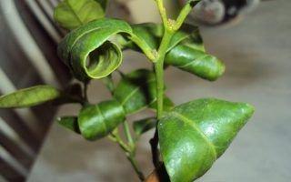 Почему скручиваются листья лимона