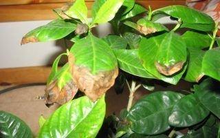 Почему у комнатного лимона сохнут листья по краям