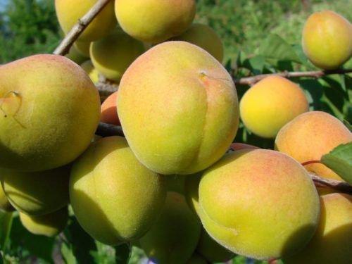 Ульянихинский абрикос