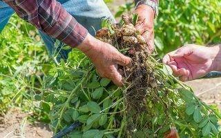 Выращивание арахиса и уход за ним