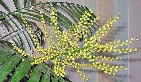 Цветы хамедореи