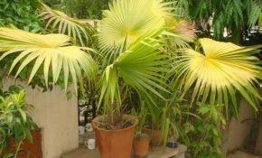 Почему у комнатной пальмы начинают желтеть листья