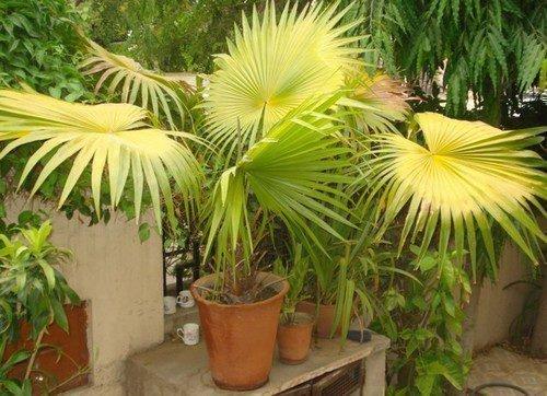 Пальма желтеет