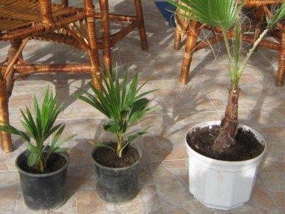 Пальмы в горшочках