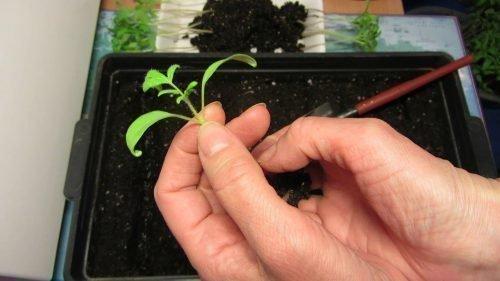 Обрывание центрального корня на томатах