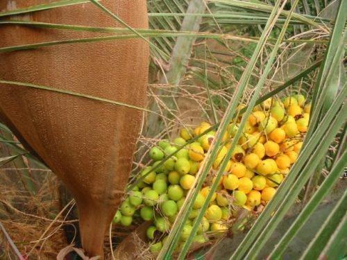 Плоды слоновой пальмы