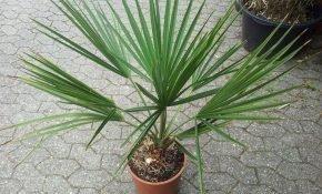 Пальма в домашних условиях: способы размножения, как ухаживать