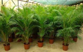 Особенности выращивания Бетелевой пальмы