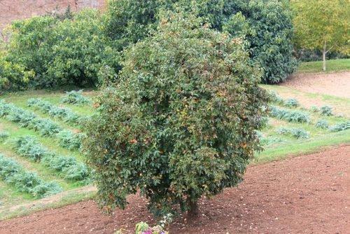 Дерево граната