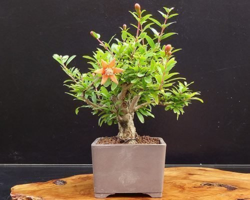 Дерево граната миниатюрное